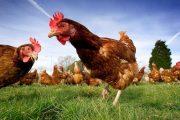 Tavuk ve yumurta üretimi neden azalıyor?