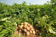 Çiftçiye patates siğili desteği geldi!
