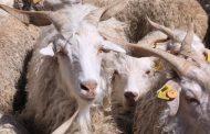 Turizme keçi desteği!