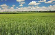 Çiftçi için kötü haber! Buğday pası hastalığı yayılıyor